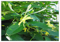 China Anti Virus Honeysuckle Flower Extract , Lonicera Japonica Flower Extract CAS 327 97 9 factory