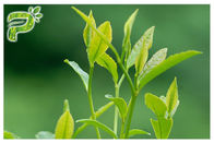 Green Tea Plant Extract Powder Preventing Radical Symptoms Polyphenols 95% UV Test