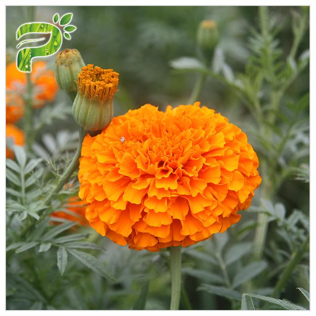CAS 127 40 2 Lutein Marigold Flower Extract , Marigold Extract Powder For Tablets