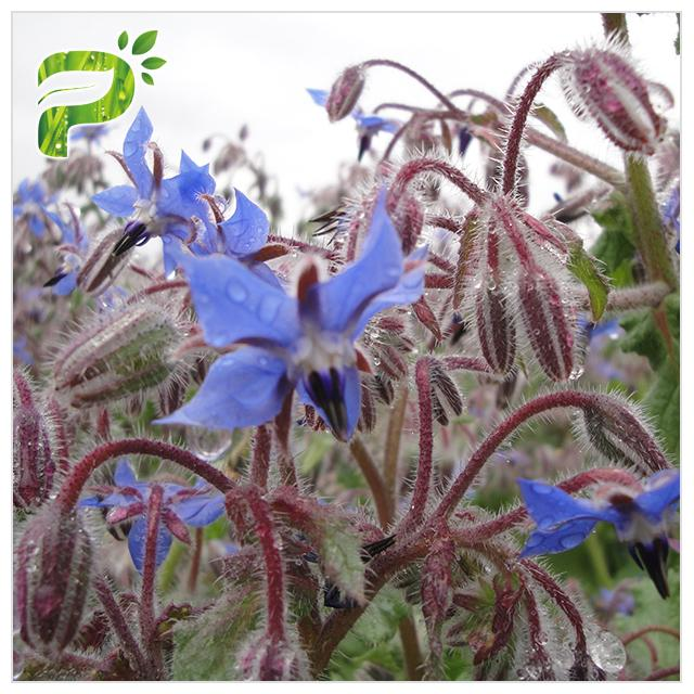 Borage Seed Organic Plant Oils Omega 6 GLA Anti Oxidation For Eczema