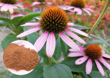 China Whole Herb Antibacterial Plant Extracts Echinacea Purpurea Powder Soluble In Water distributor