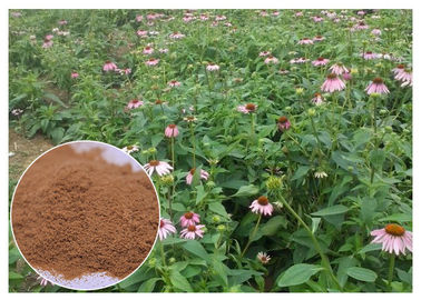 China Chicory Acid Pure Herbal Supplements , Whole Herb Echinacea Purpurea Extract distributor