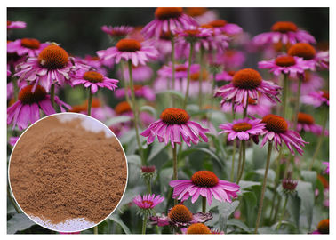 China Purple Coneflower Antibacterial Plant Extracts With Chicory Acid Brown Powder distributor