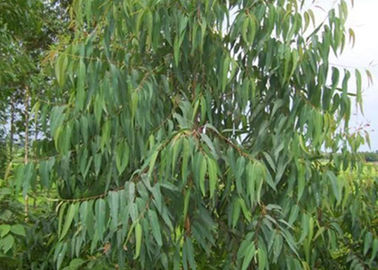 China Anti Fungal Natural Essential Oils Eucalyptus Globulus Oil CAS No. 8000 48 4 distributor