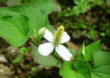China Skin Conditioner Natural Cosmetic Ingredients Houttuyniae Cordata Thund Extract distributor